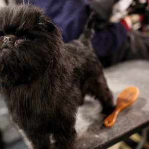 "Pictures From ""Westminster Kennel Club 2012"" a Dog Show"
