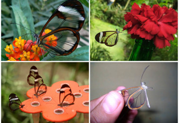 Little Mirrors – Beautiful Butterfly, as if made of Fine Glass Wings