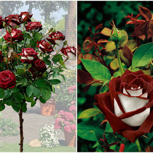 A Beautiful Rose Variety – Osiria