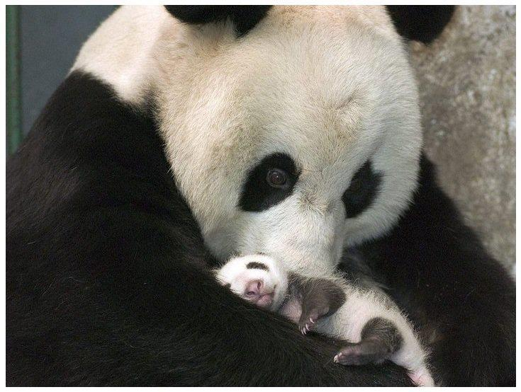 Lovely Baby Panda First Time Meet His Mom...