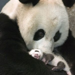 I Love These Cute Pandas…….