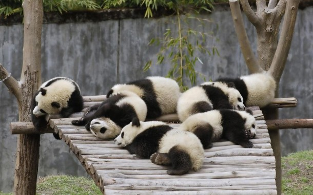 I Love These Cute Pandas....... (9)