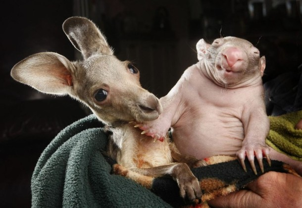 Unique Love - Orphan Wombats and Kangaroos have become Lovely Friends (1)