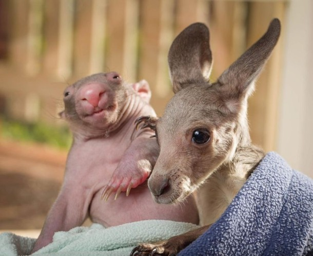 Unique Love - Orphan Wombats and Kangaroos have become Lovely Friends (2)