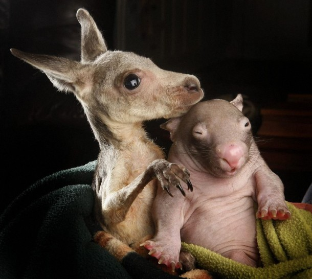 Unique Love - Orphan Wombats and Kangaroos have become Lovely Friends (3)
