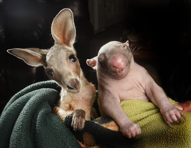 Unique Love - Orphan Wombats and Kangaroos have become Lovely Friends (4)