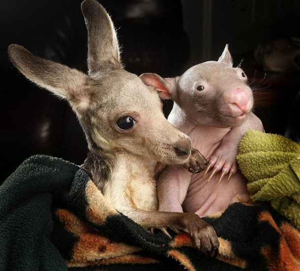 Unique Love - Orphan Wombats and Kangaroos have become Lovely Friends (6)
