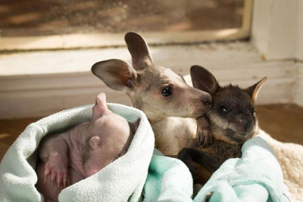 Unique Love - Orphan Wombats and Kangaroos have become Lovely Friends (9)