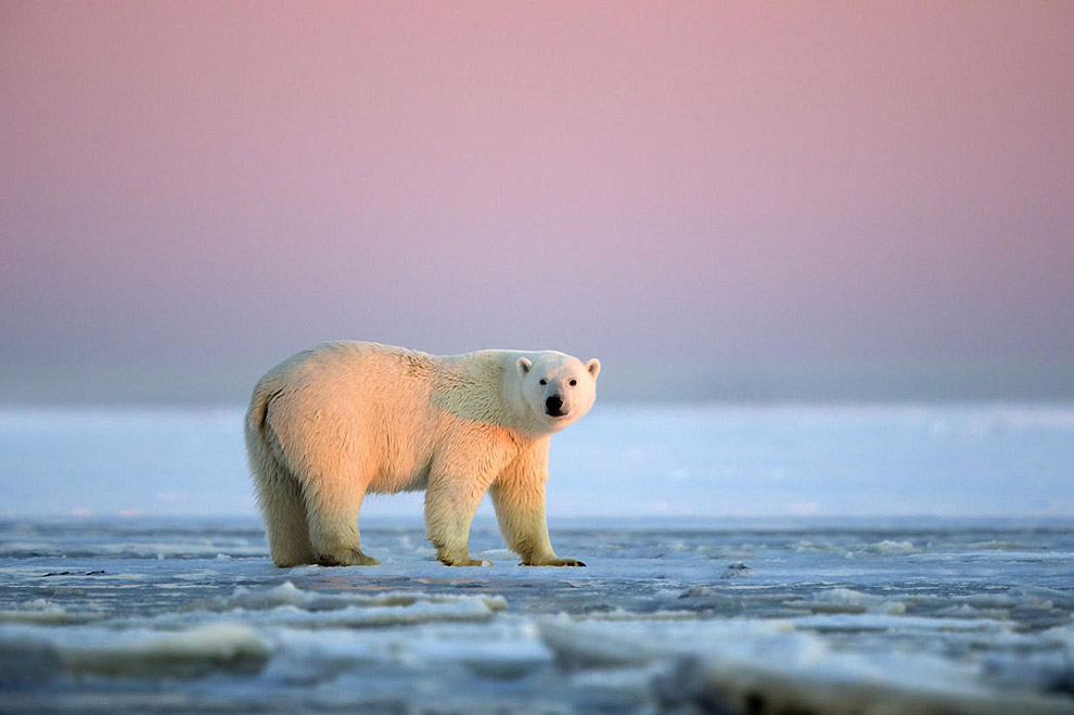 Awesome Polar Bears With Magnificent Sunset in Alaska (7)