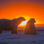 Awesome Polar Bears With Magnificent Sunset in Alaska