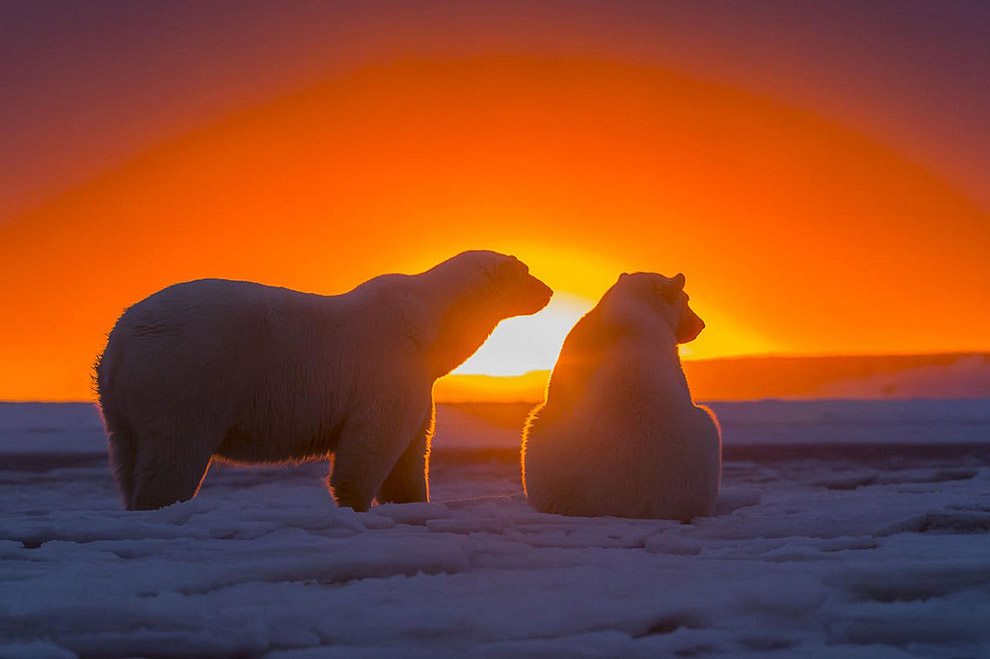 Awesome Polar Bears With Magnificent Sunset in Alaska (9)