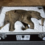 42000-Year-Old Baby Mammoth Came London Natural History Museum
