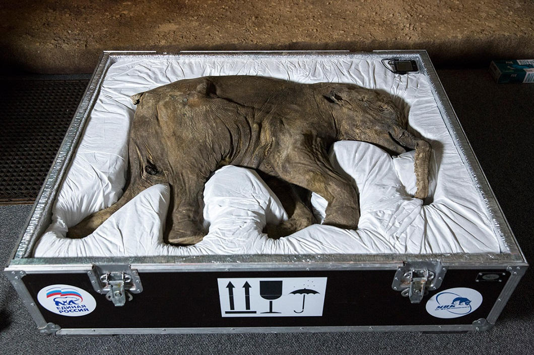 42000-Year-Old Baby Mammoth Came London Natural History Museum (1)