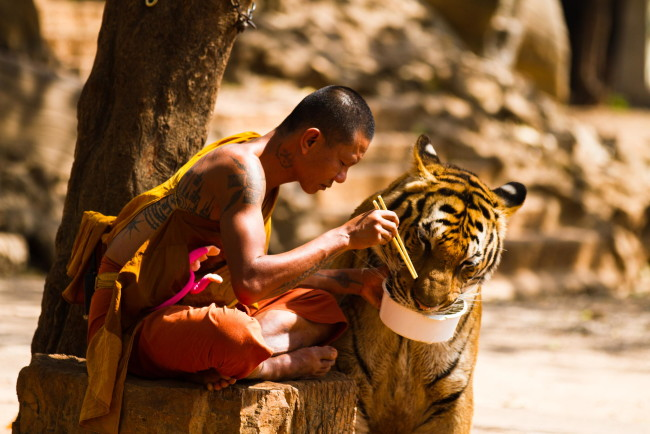 A Buddhist monk shares his meal with a tiger at the Kanchanaburi 'Tiger Temple' in Thailand