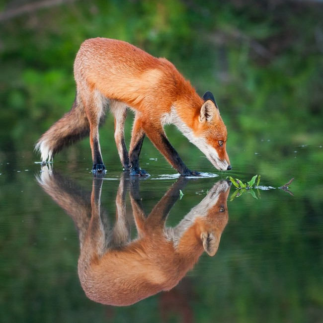 A fox that was looking for food in the shallow water, writes photographer Mattias Bergman.