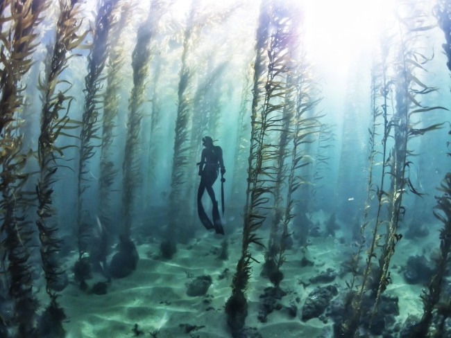 Free diving in a kelp forest