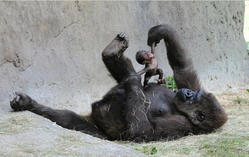 Gorilla mom playing with her baby.