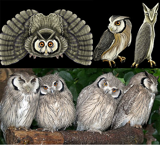 The White Faced Scops Owl is sometimes referred to as the Transformer Owl.