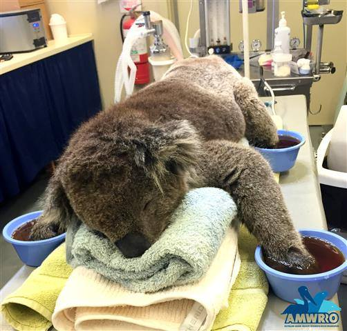 This is Jeremy the koala. He was rescued from bushfires in South Australia