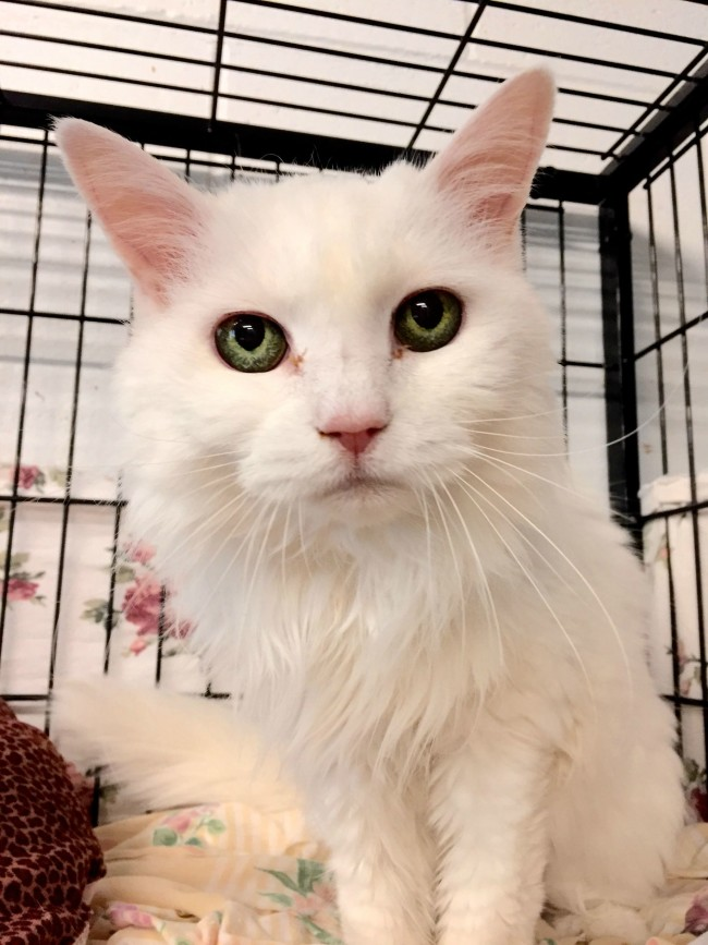 This is Skeeter. She is 19 years old and was surrendered to an animal shelter. She has the coolest eyes I've ever seen.