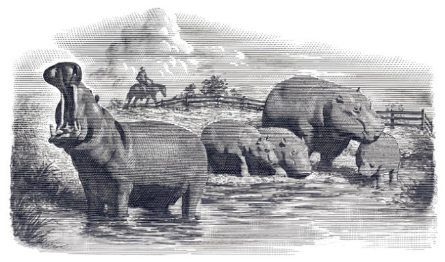 in 1910, President Roosevelt supported a bill that would have released hippopotamuses into Louisiana to eat an invasive plant species and to provide delicious hippo bacon to hungry Americans.