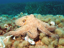 it is illegal in many countries to perform surgical procedures on an octopus