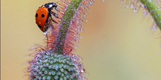 Ladybugs in the Dew