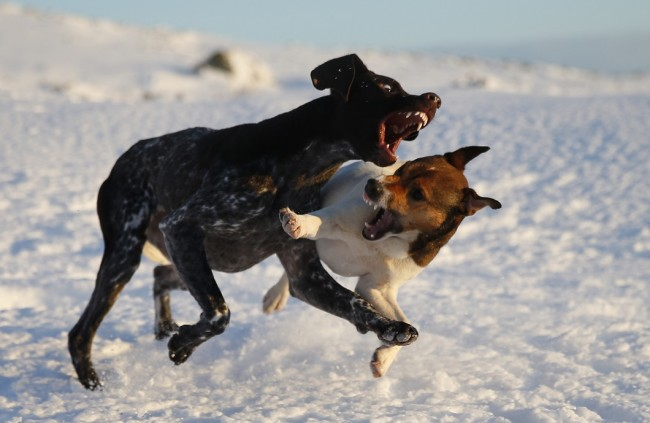 Two dogs play together in the snow during wintry weather near Pitlochry, Scotland