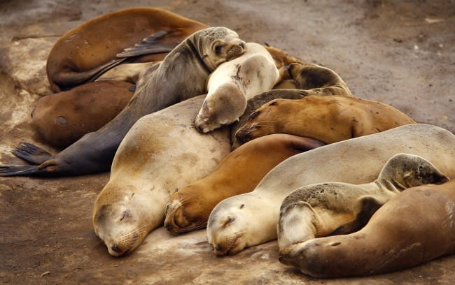 Seal pups sleep with mothers along rocky shoreline in La Jolla, California