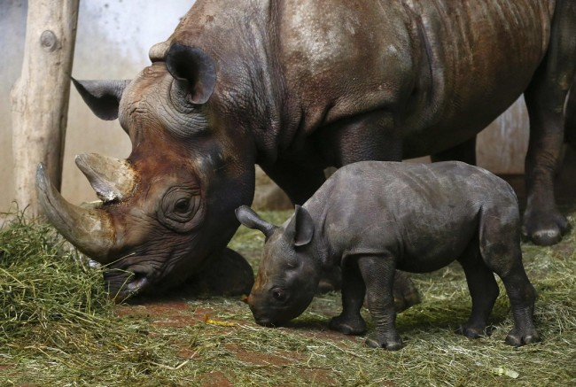 Young female black rhinoceros Olmoti stands in front of its mother 14-year old Samira at the zoo in Zurich