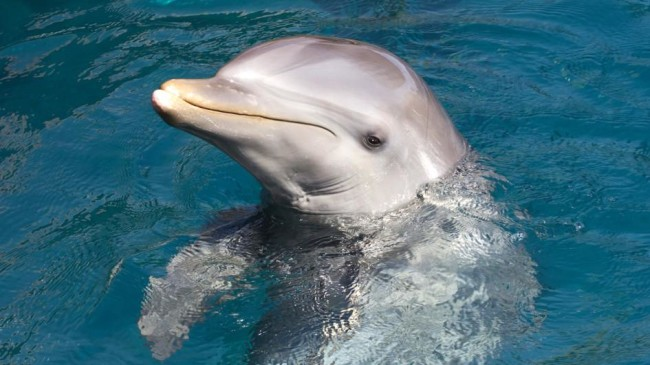 Dolphins will communicate with one another over a telephone, and appear to know who they are talking to