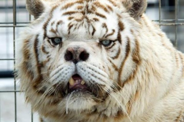 Kenny the Down Syndrome tiger was the result of deliberate inbreeding between rare brother and sister white tigers and most of his siblings were either stillborn or died very young.