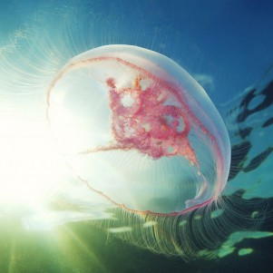 The Moon Jellyfish, Just One of Alexander Semenov's Amazing Marine Photos
