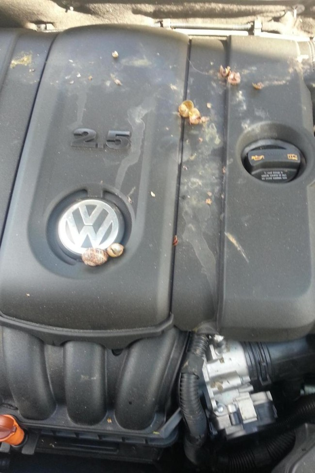 Opened the hood to my wife's car to find what looks like a snail mass suicide....