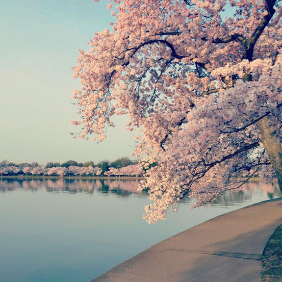The pink cherry blossoms in Washington D.C. were a gift from Japan. In 1912