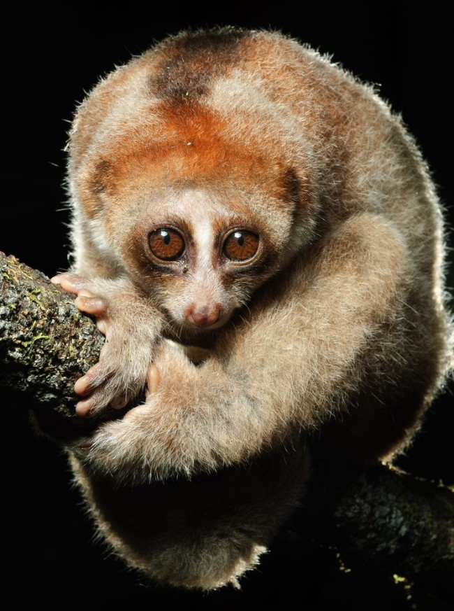 The slow loris is a mammal that is both poisonous and venomous.