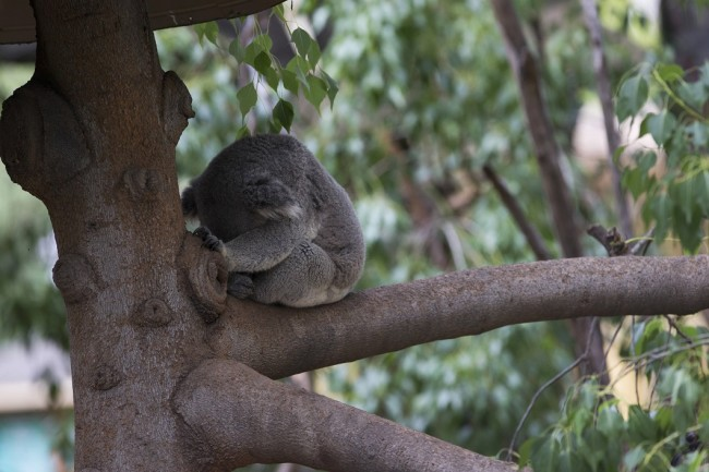 A koala sleeps on a tree branch in its enclosure at the zoo in Los Angeles
