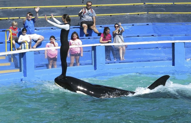 Lolita the Killer Whale and a trainer perform during a show at the Miami Seaquarium