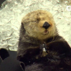 Otter gets brain freeze after crunching on ice