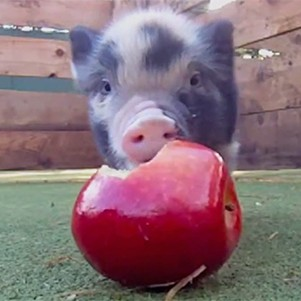 Baby Micro Pigs Eating A Gigantic Looking Apple