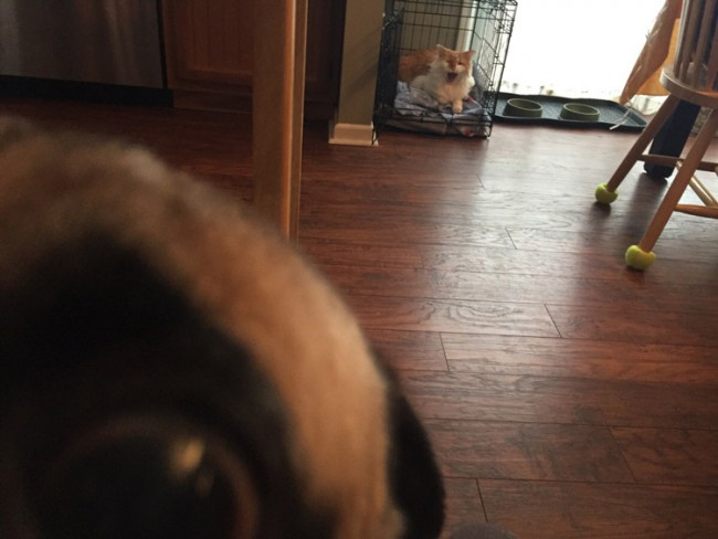 Pug evicted by the cat