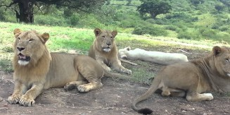 Lion Opens Car Door At Safari Park
