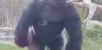 Massive Silverback Gorilla Cracks Enclosure Glass