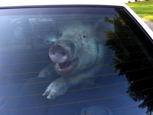 Ridiculously photogenic stray pig taken into custody by the Detroit police.