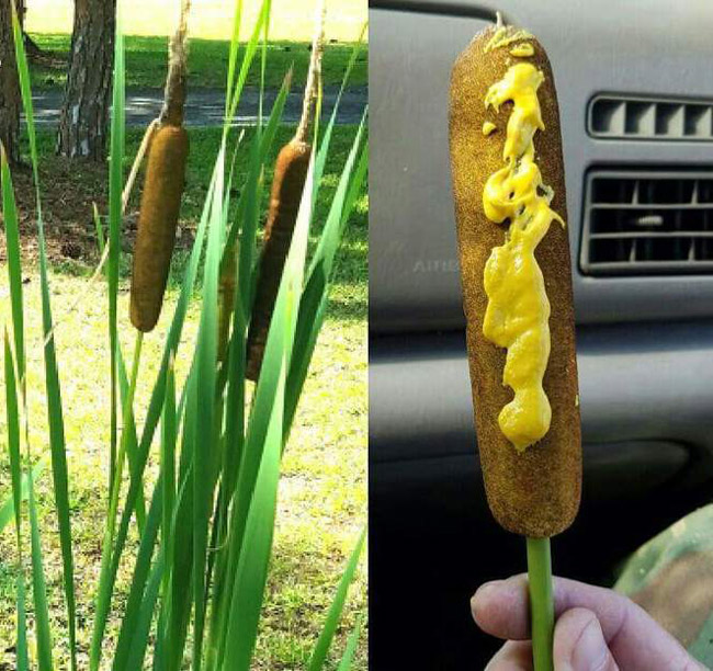 Found some wild grown corn dogs
