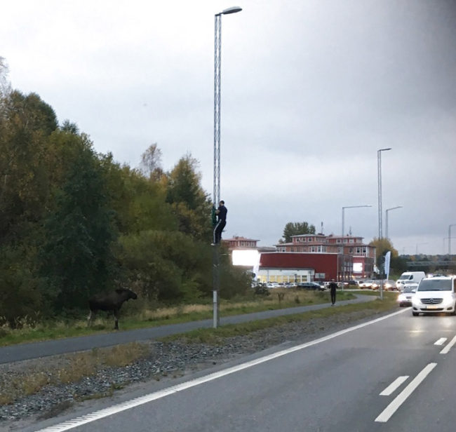 Man chased up a lightpost by an angry moose