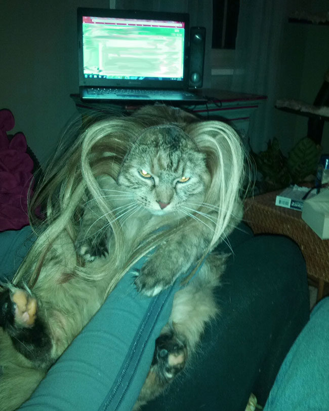 My girlfriend put hair extensions on her cat. Tinkerbell was not impressed