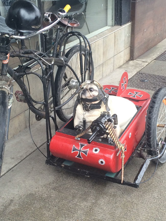 A guy in my city often rides around with his pug like this...