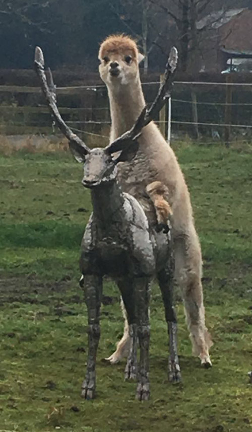 Nana sent me a picture of her neighbour's alpaca humping their new stag sculpture