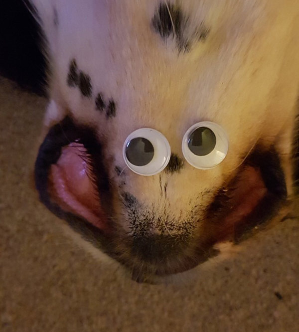 Stuck googly eyes to the bottom of my dogs mouth. What have i created?